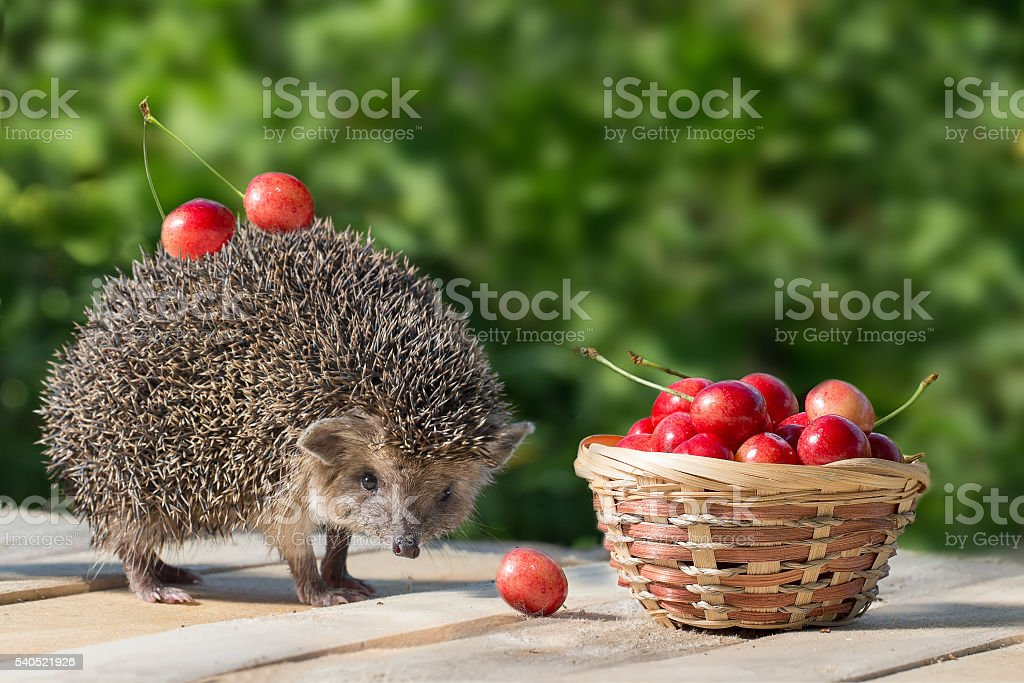 young hedgehog stands near the wicker basket with sweet cherry stock photo