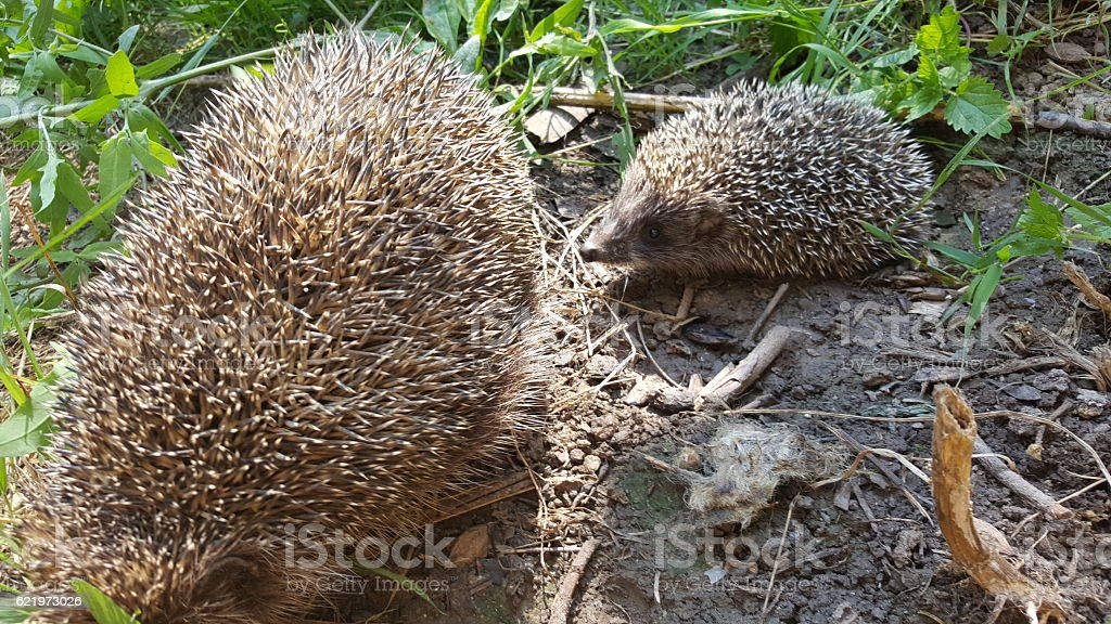 Young hedgehog with his mother stock photo