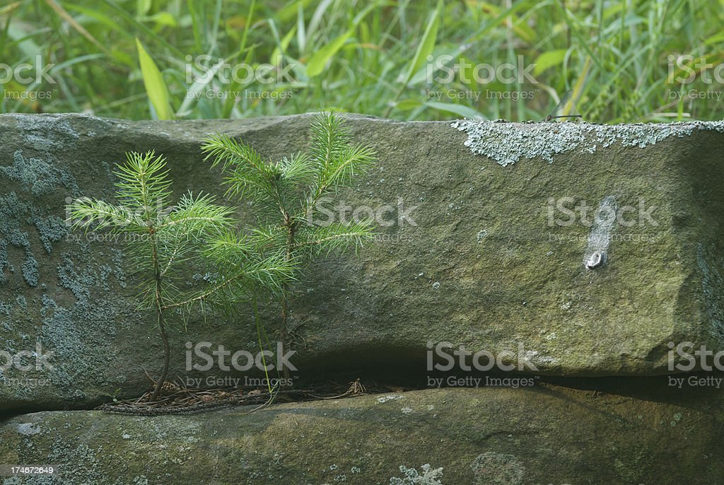Young Hemlock Trees stock photo