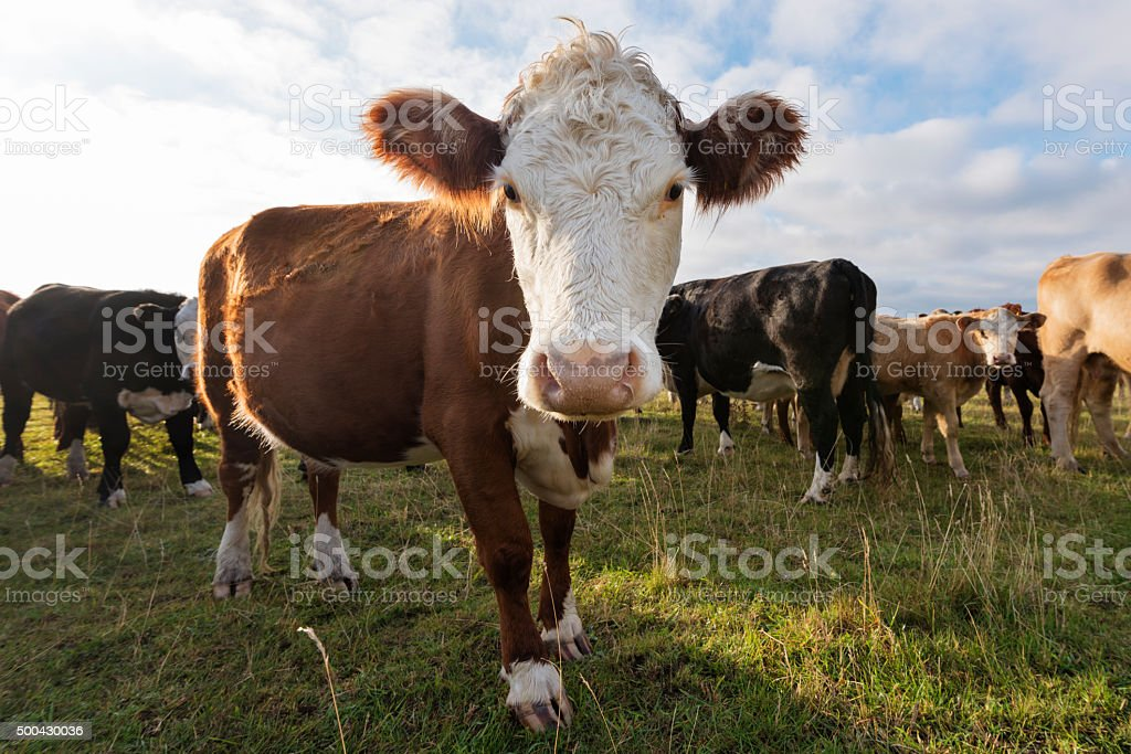 Young Hereford Cow Looking at the Camera stock photo