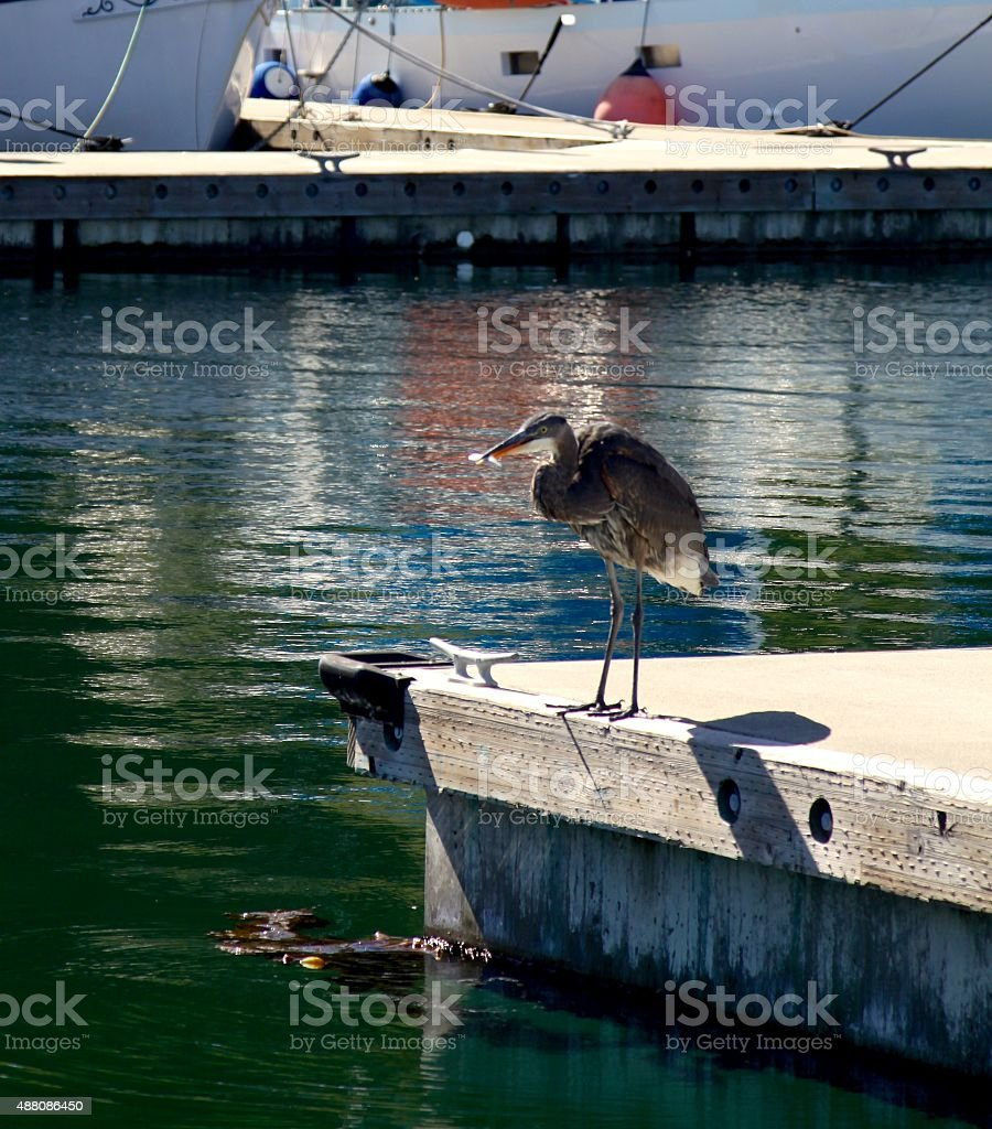 Young Heron With A Fish It Has Caught stock photo