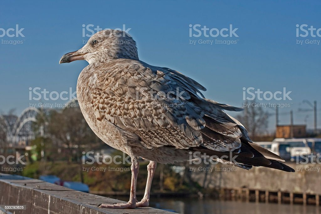 Young herring gull in the city stock photo