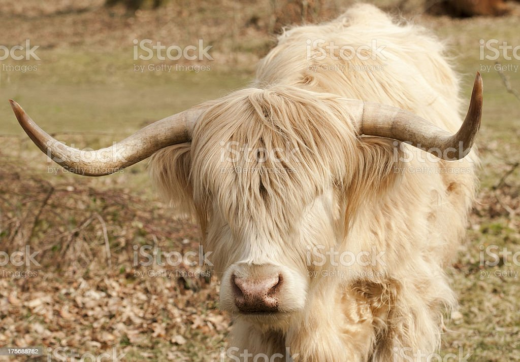 Young highland bull royalty-free stock photo