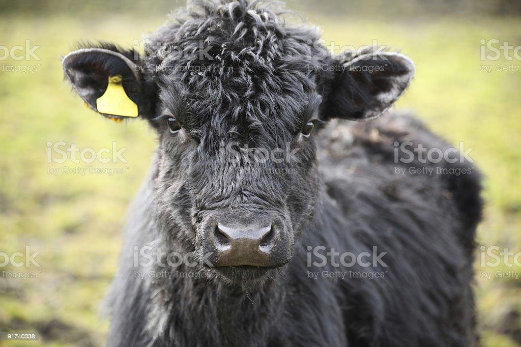 Молодые Highland ВОЛОВЬЮ КОЖУ Стоковые фото Стоковая фотография