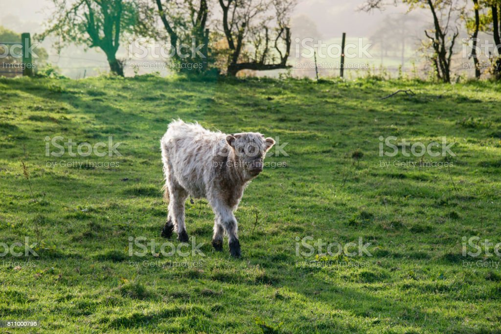 A young highland cow walking through lush green grass stock photo