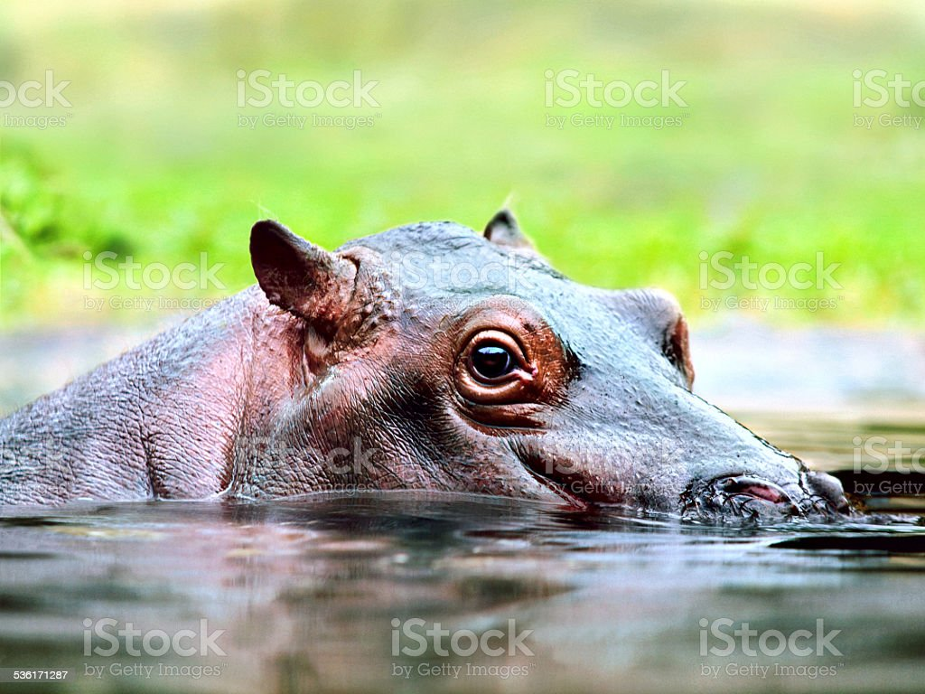 Young hippo swimming in the water stock photo