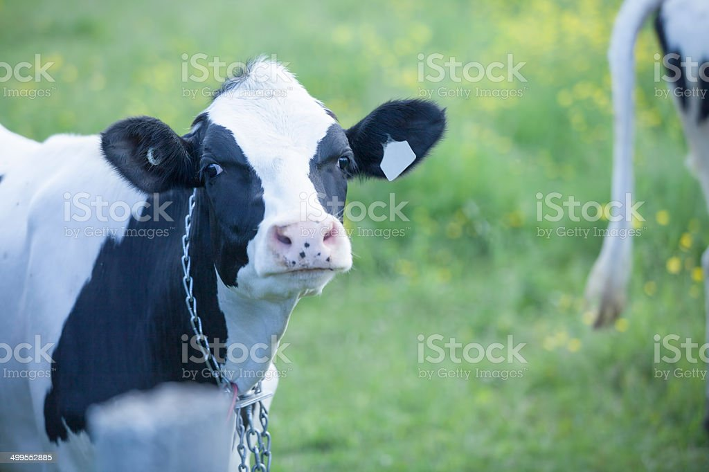 Young Holstein heifer in a pasture stock photo