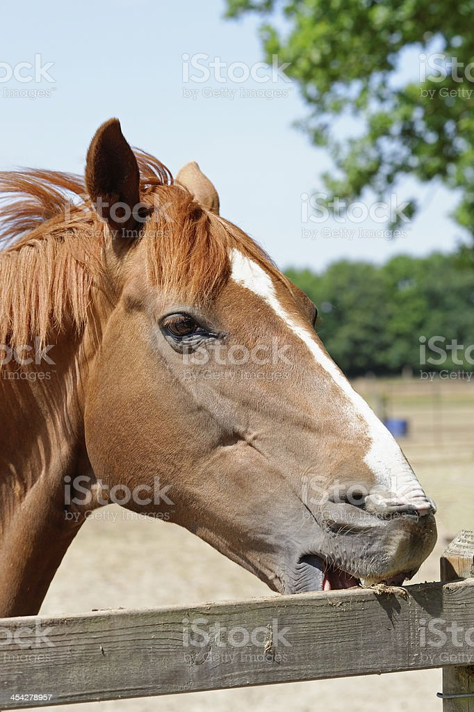 Young Horse Crib-Biting on a Fence stock photo