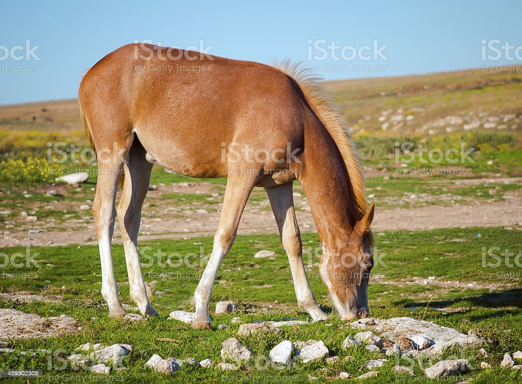 Young Horse Farm Animal pastured on Green Valley royalty-free stock photo