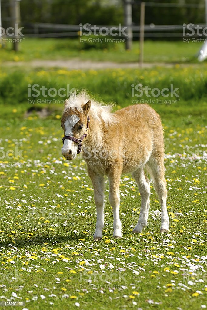 Young horse foal and meadow royalty-free stock photo