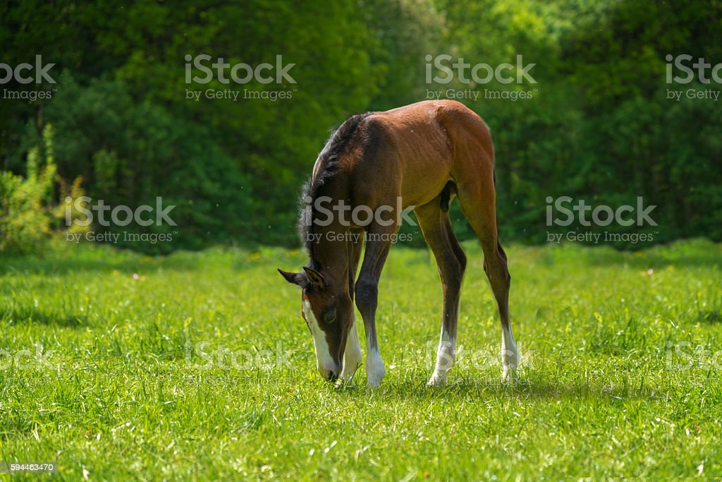 young horse foal grazing on meadow stock photo