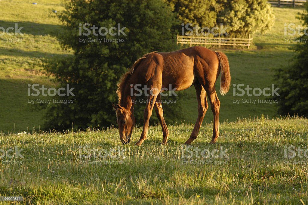 Young horse in the evening sun stock photo