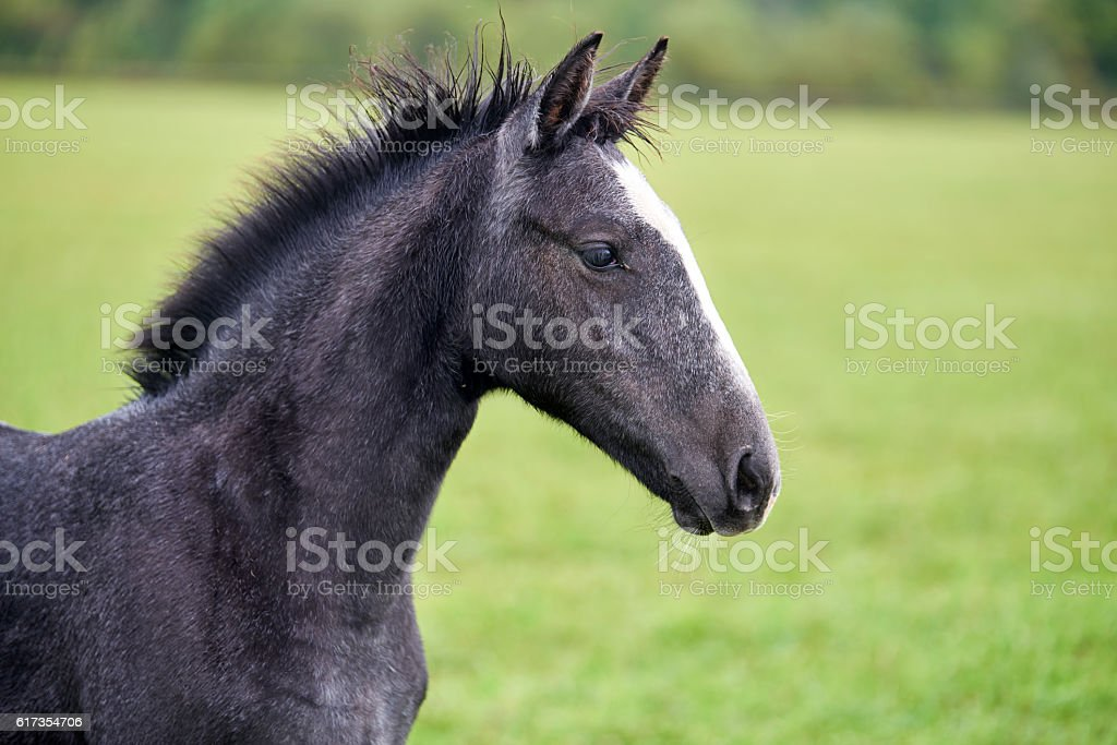 Young horse on a green field stock photo