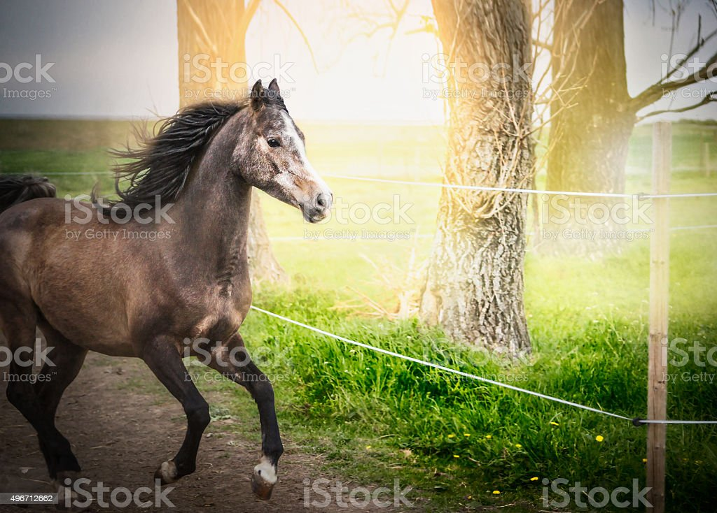 Young horse running on paddock with electric fence stock photo