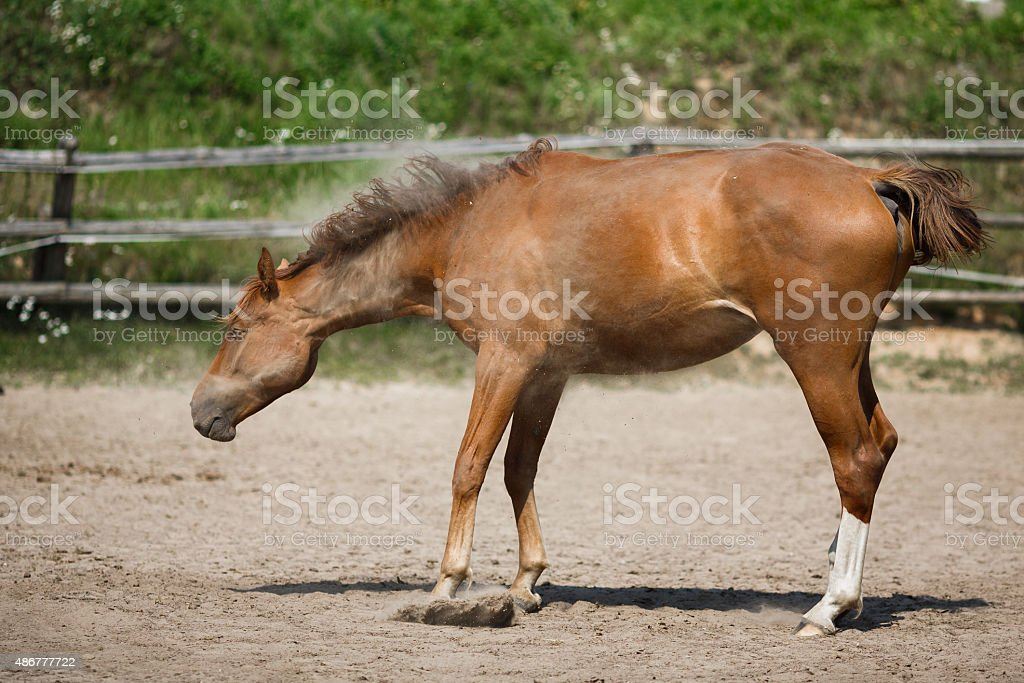 Young horse shake off the dust stock photo