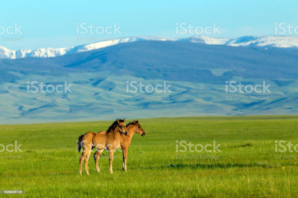 young horses-Rocky Mountains stock photo