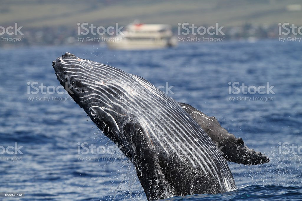 Young Humpback Breach in Maui. stock photo