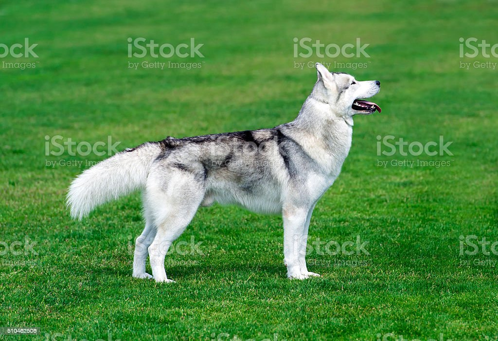 Young husky dog on the green field. stock photo