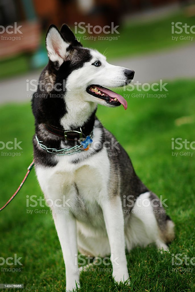 Young Husky royalty-free stock photo