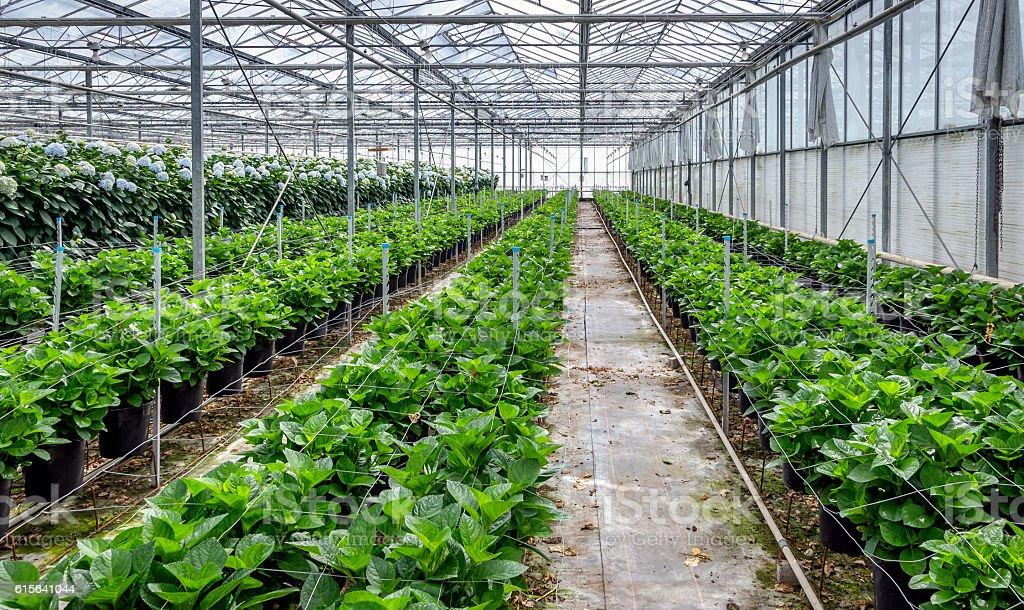 Young hydrangea plants in a cut flower nursery of hydrangeas stock photo