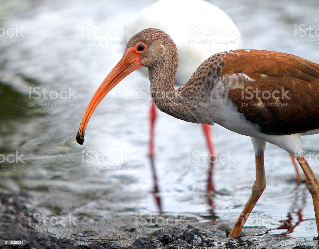 Young Ibis in search of food in the river shore stock photo
