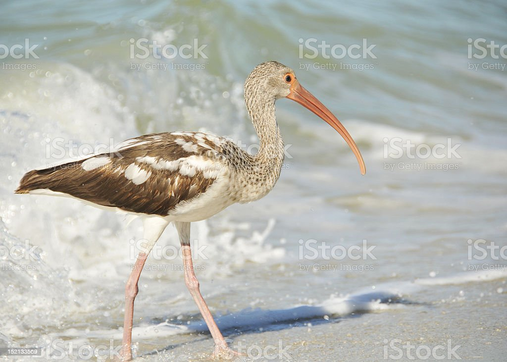 Young ibis stock photo