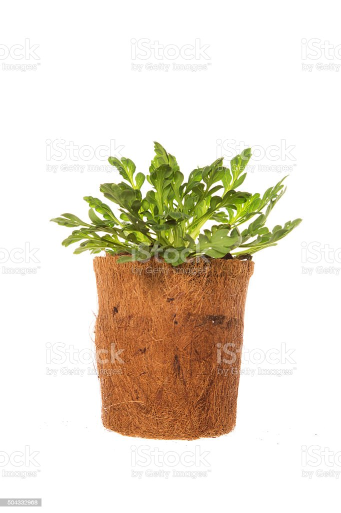 Young Iceland poppy plant in coir pot isaolated on white stock photo