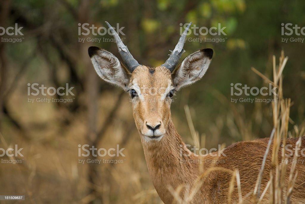 Young impala royalty-free stock photo