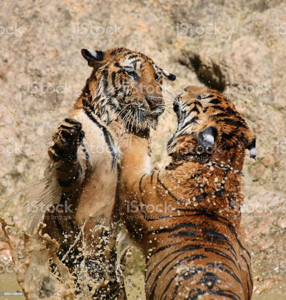 Young Indo-Chinese tigers playing in the lake stock photo