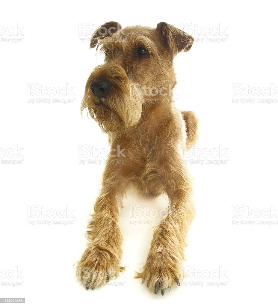 young Irish terrier lying on a white background royalty-free stock photo
