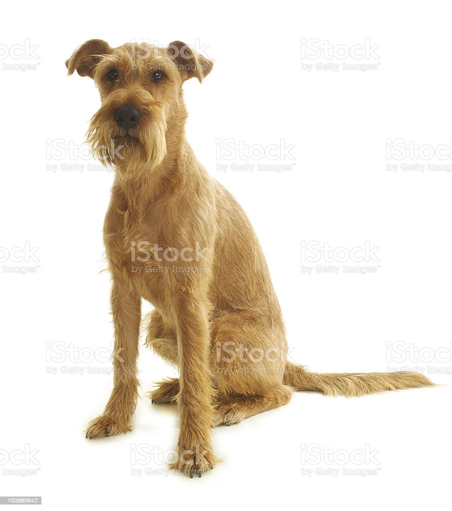 young Irish terrier sitting on a white background royalty-free stock photo
