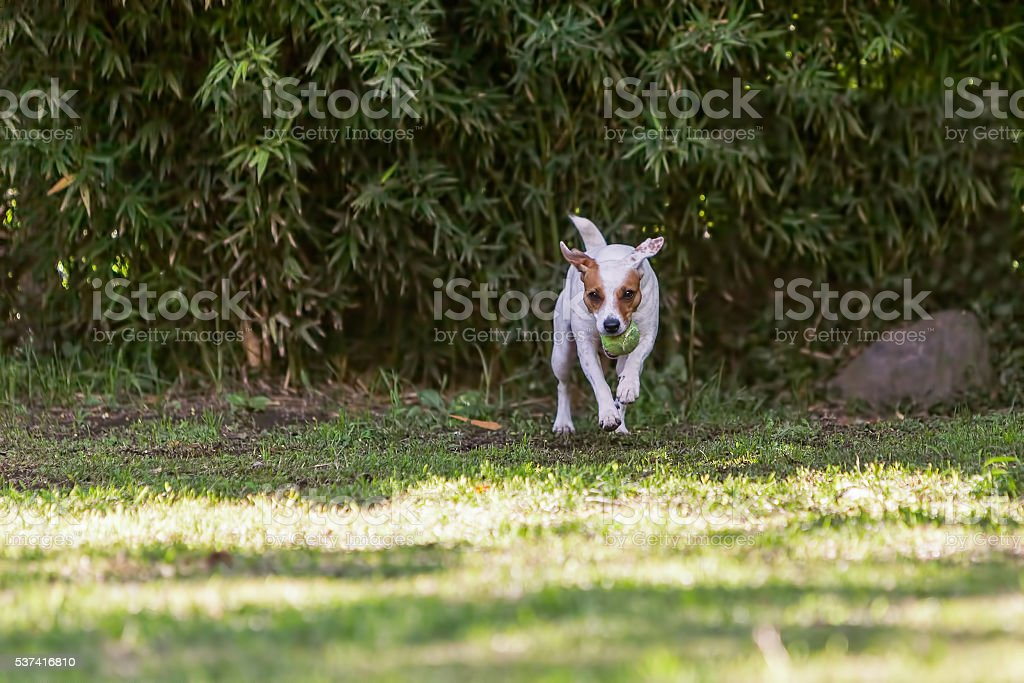 Young Jack Russell Terrier Dog Jump And Running stock photo