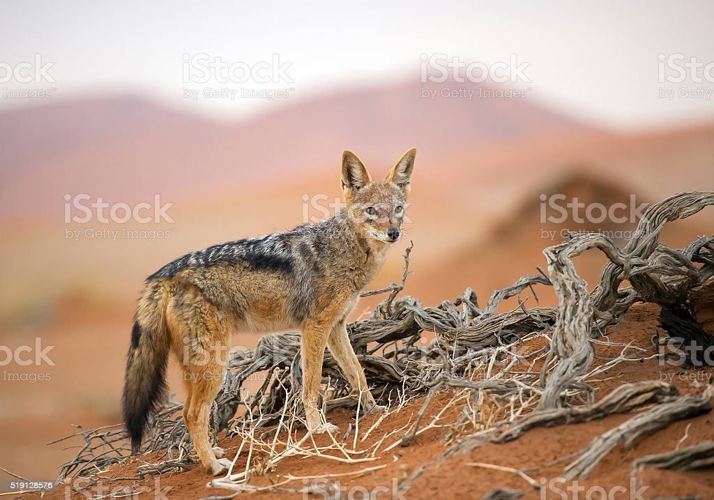 Young jackal standing on red sand stock photo
