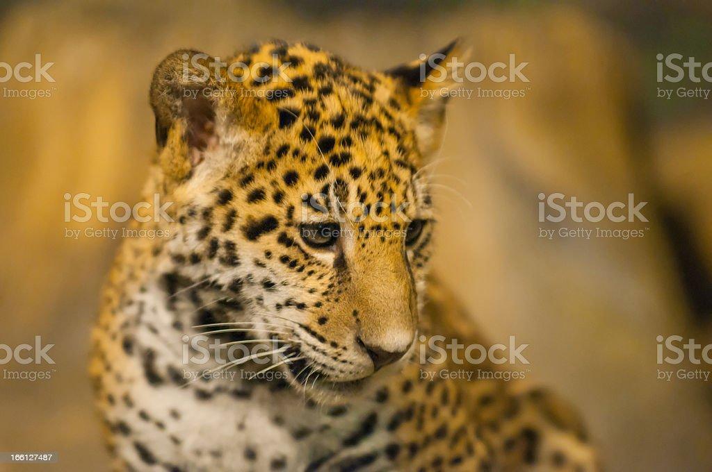 Young Jaguar royalty-free stock photo