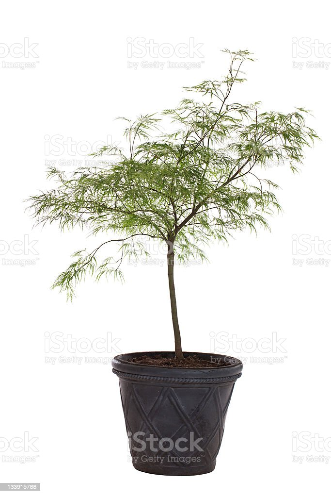 Young Japanese Maple Tree royalty-free stock photo