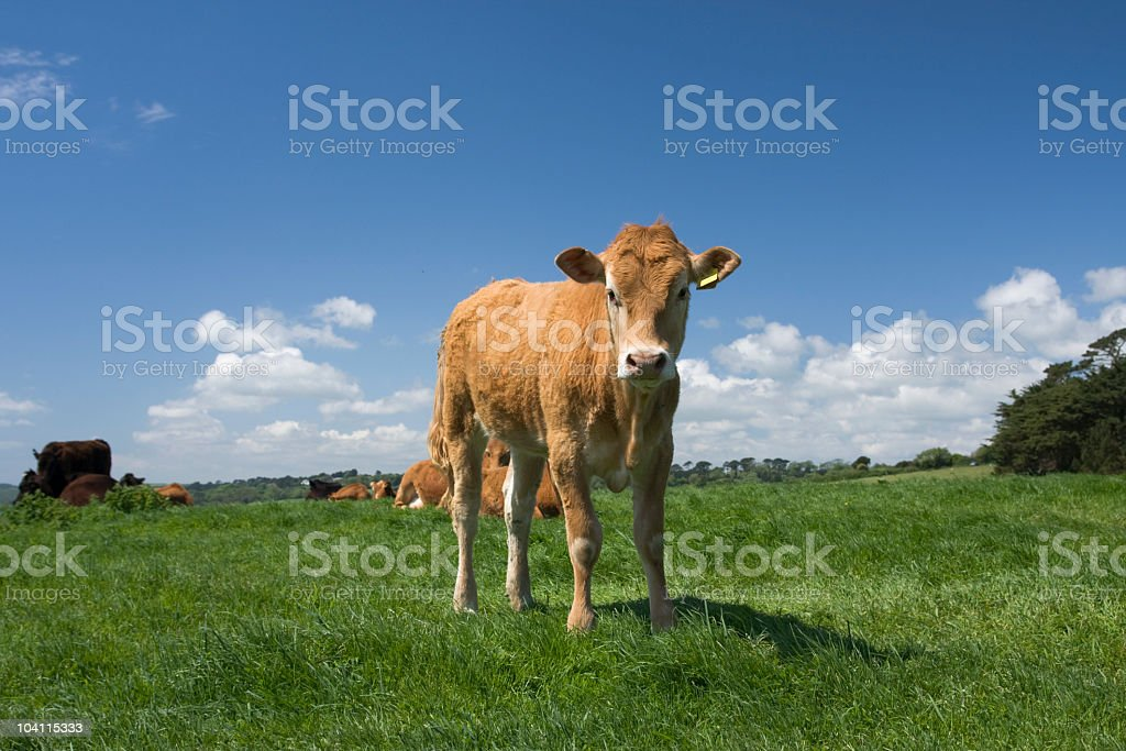 Young Jersey cow contemplating life in a field stock photo