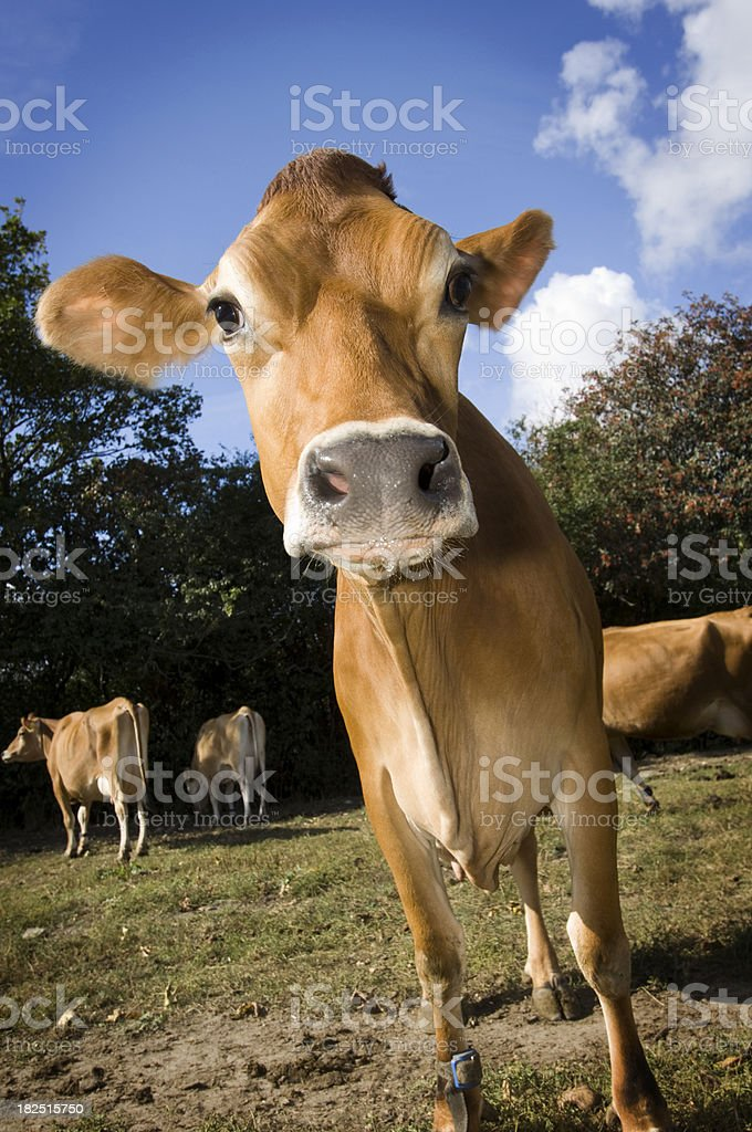 Young Jersey Cow In A Farmers Field stock photo
