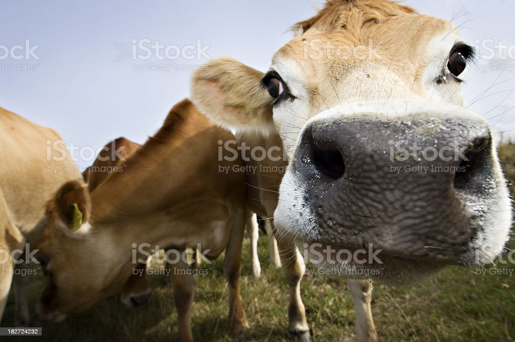Young Jersey Cow in the Field stock photo