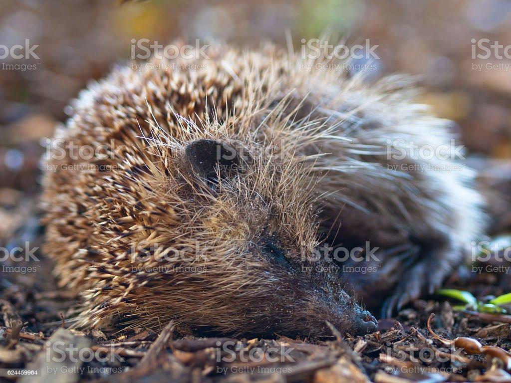 Young juvenile hedgehog stock photo