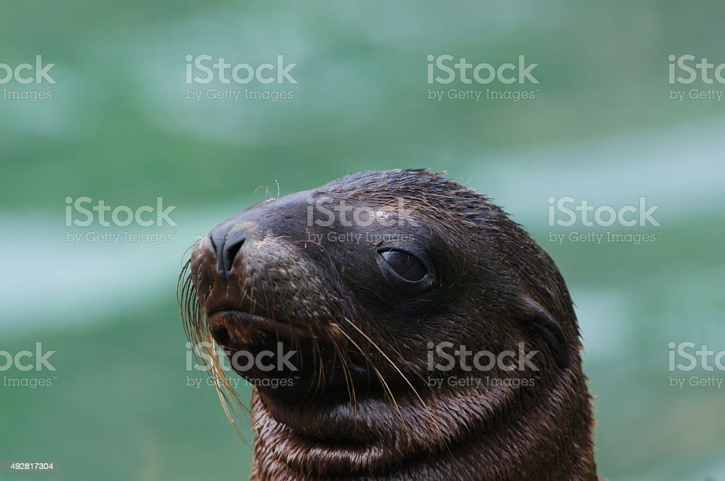 Young Kalifornian Sea Lion stock photo