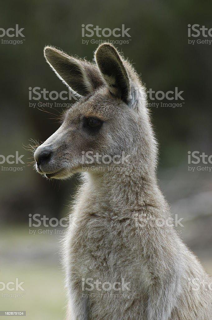 Young Kangaroo royalty-free stock photo