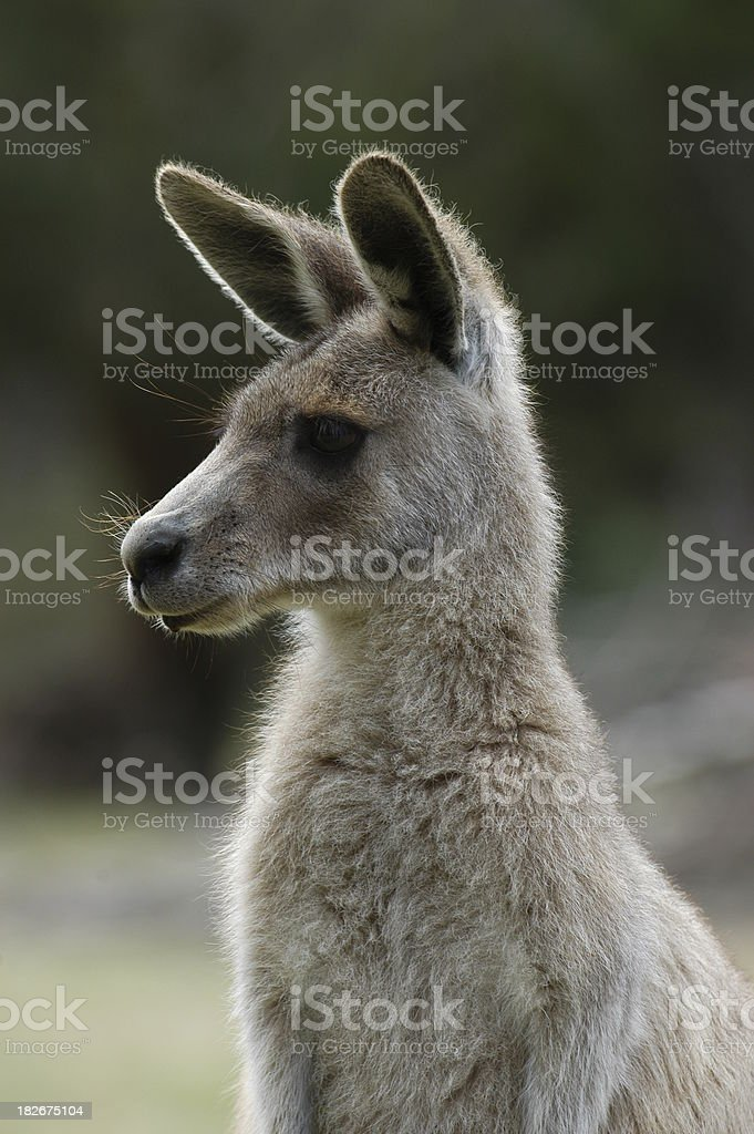 Young Kangaroo stock photo