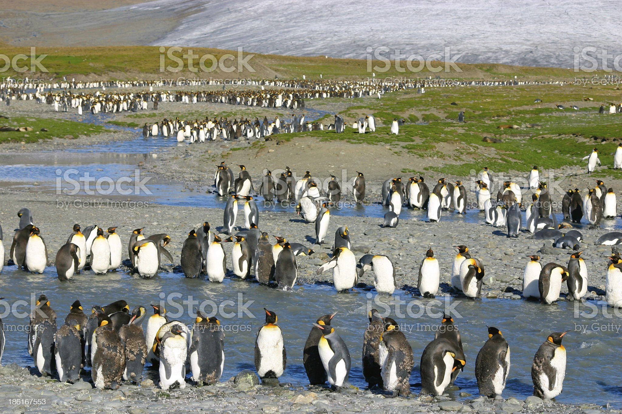 Young king penguins royalty-free stock photo