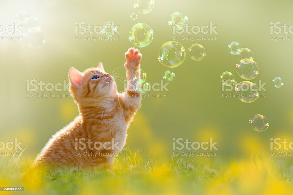 young kitten playing with soap bubbles, bubbles on meadow stock photo