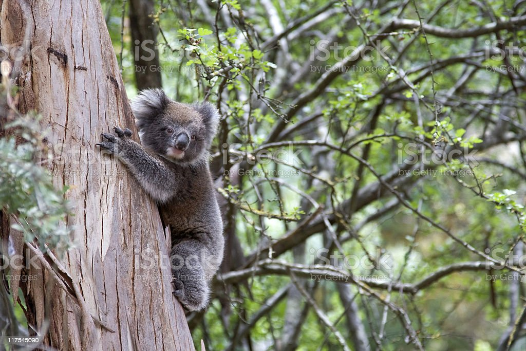 Young koala climbing a tree royalty-free stock photo