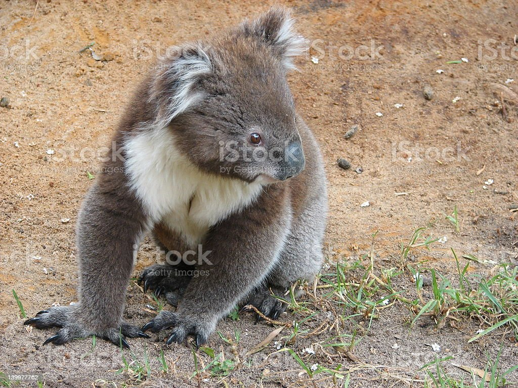 young koala royalty-free stock photo