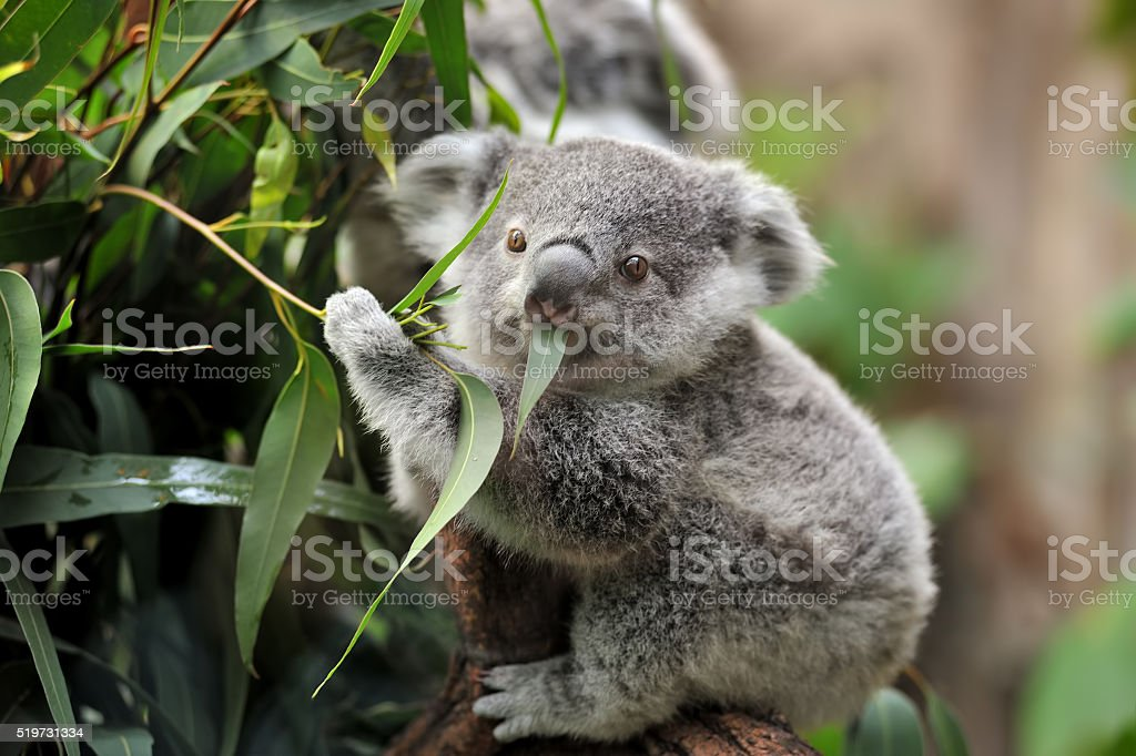 young koala royalty-free stock photo
