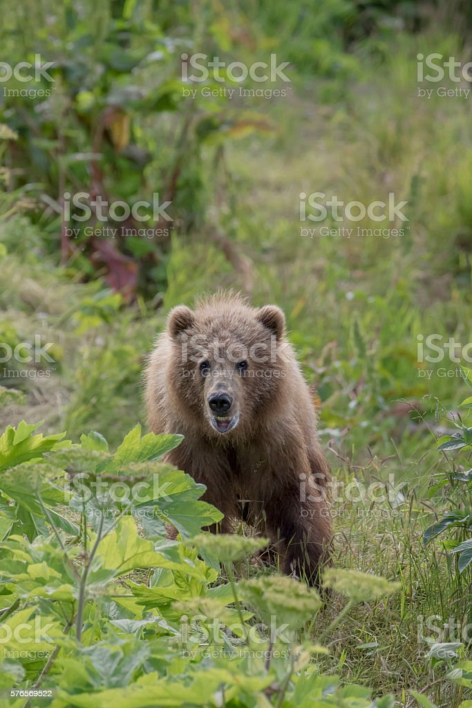 Young Kodiak Grizzly (Brown) Bear Looking Forward stock photo