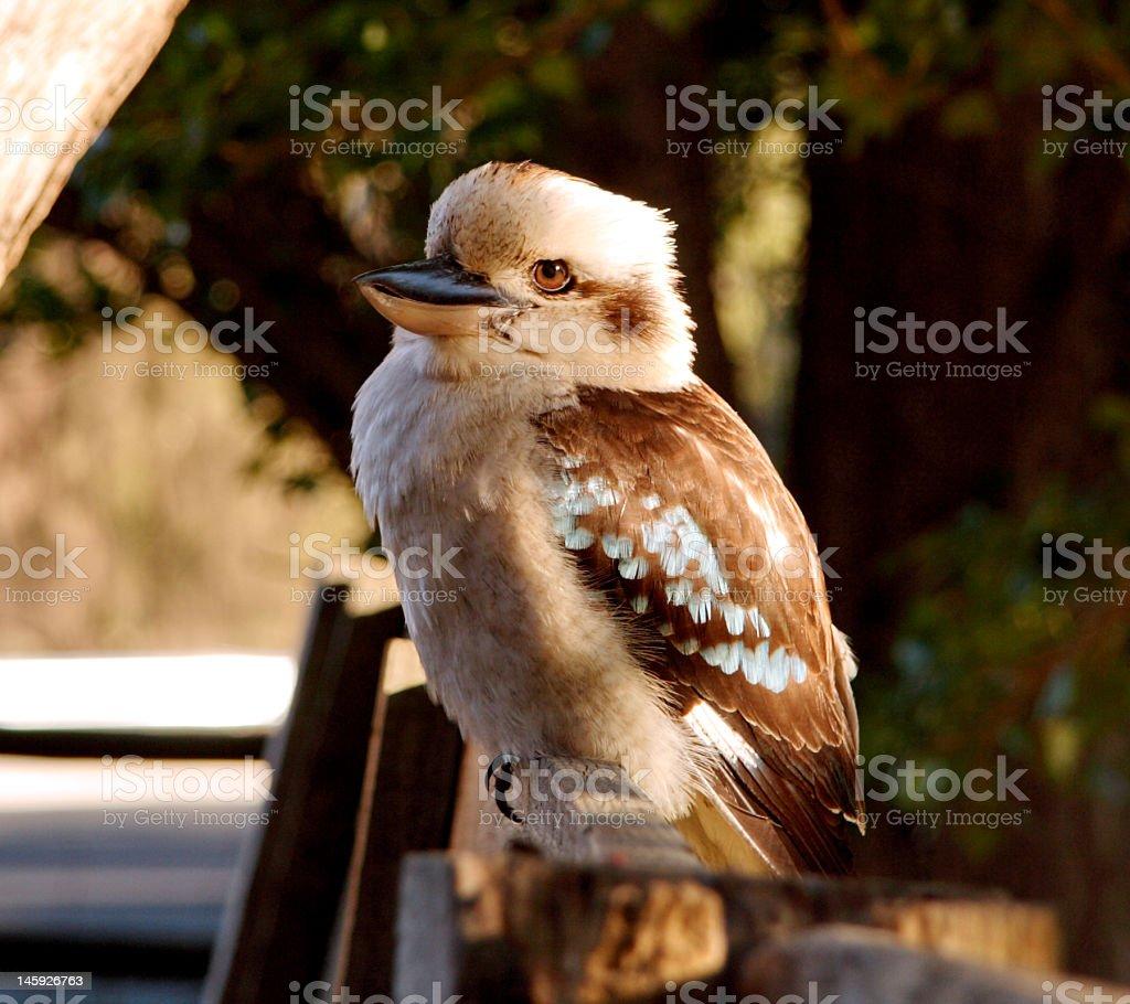 Young kookaburra royalty-free stock photo