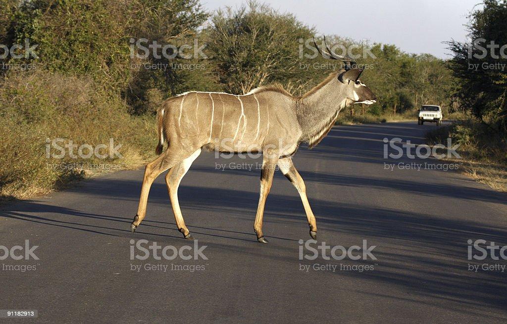 Young kudu bull stock photo